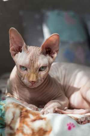 selective focus photography of sphinx cat lying on bedspread