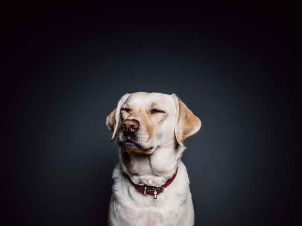 animal dog pet labrador