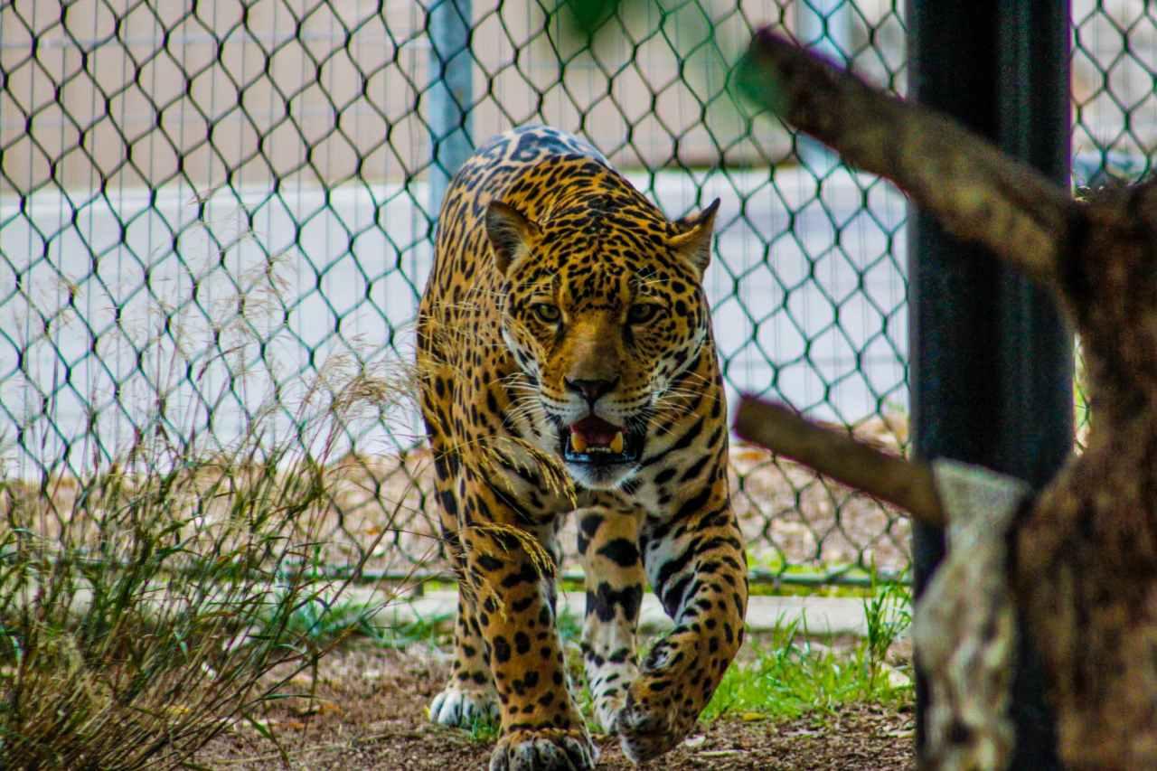 growling leopard inside enclosure
